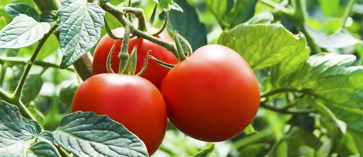 Почему томаты потеряли аромат?